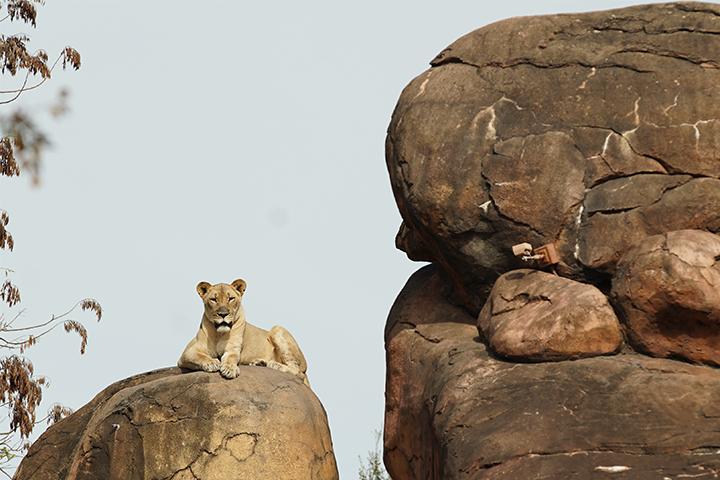 Kamari the lioness rests on the savannah at Harambe Wildlife Reserve Disney